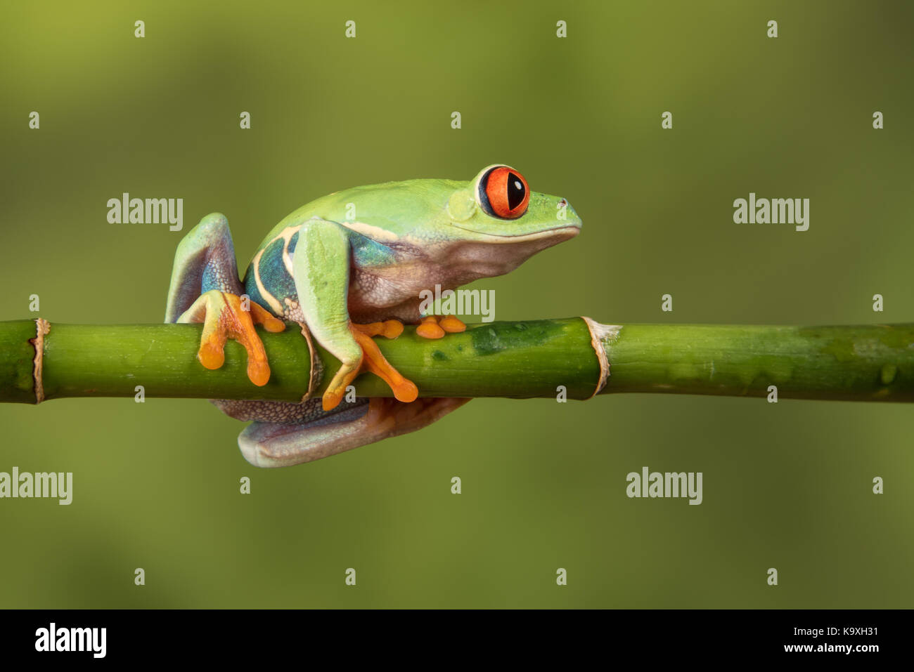 Close side view profile image of a red eyed tree frog balancing on a bamboo cane looking to the right - Stock Image