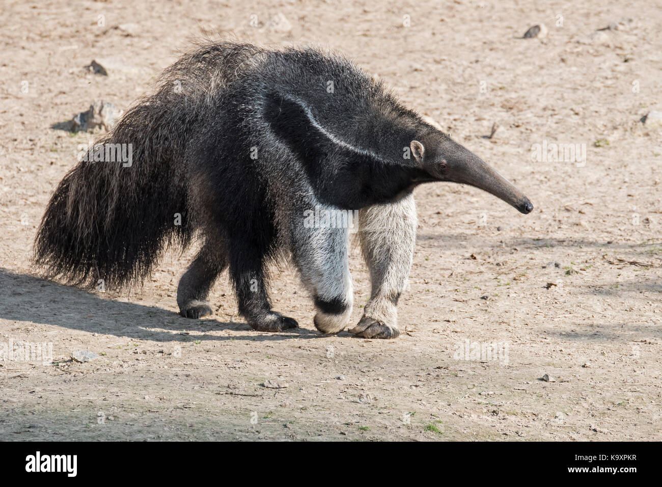 Giant anteater / ant bear (Myrmecophaga tridactyla) insectivore native to Central and South America - Stock Image