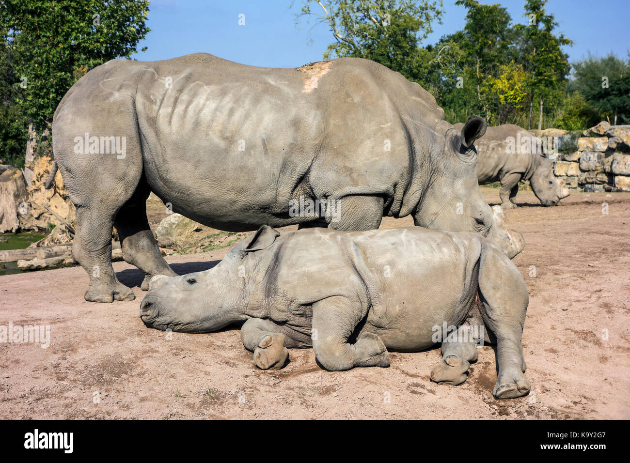 White rhinoceros family / white rhinos (Ceratotherium simum) in zoo with cut horns as precaution against theft - Stock Image