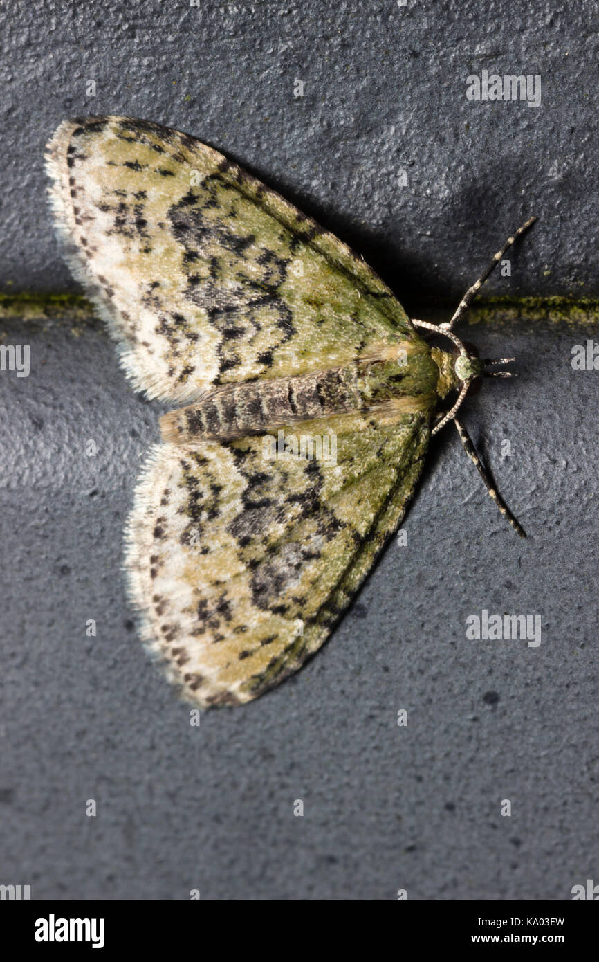 Adult Yellow-barred Brindle moth, Acasis viretata, resting on a wall - Stock Image