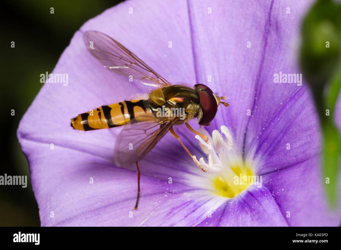 Wasp mimic UK male marmalade hoverfly, Episyrphus balteatus, feeding on the blue flower of Convolvulus sabatius - Stock Image