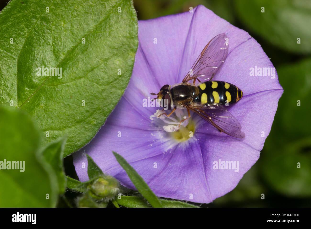 Wasp mimic UK female hoverfly, Eupeodes luniger, feeding on the blue flower of Convolvulus sabatius - Stock Image