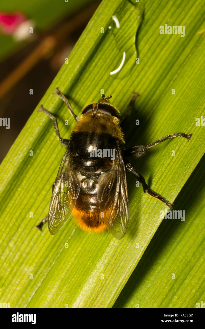Adult male Narcissus fly, Merodon equestris, a nee mimic hoverfly and pest of daffodil and other bulbs Stock Photo