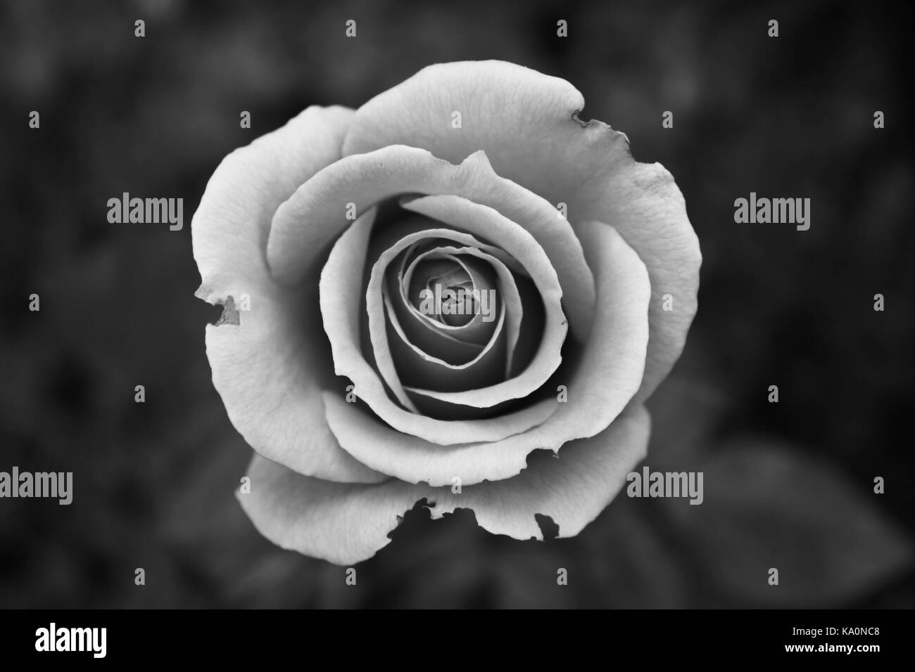 Ornamental Garden Black And White Stock Photos Amp Images