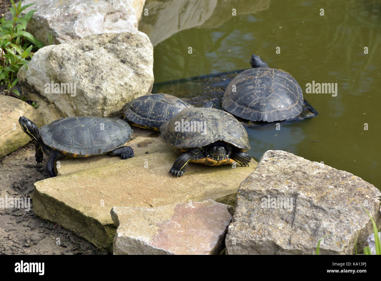 Terrapins on the rocks at the edge of a pond for sale at a garden centre in the uk. An invasive species causing - Stock Image