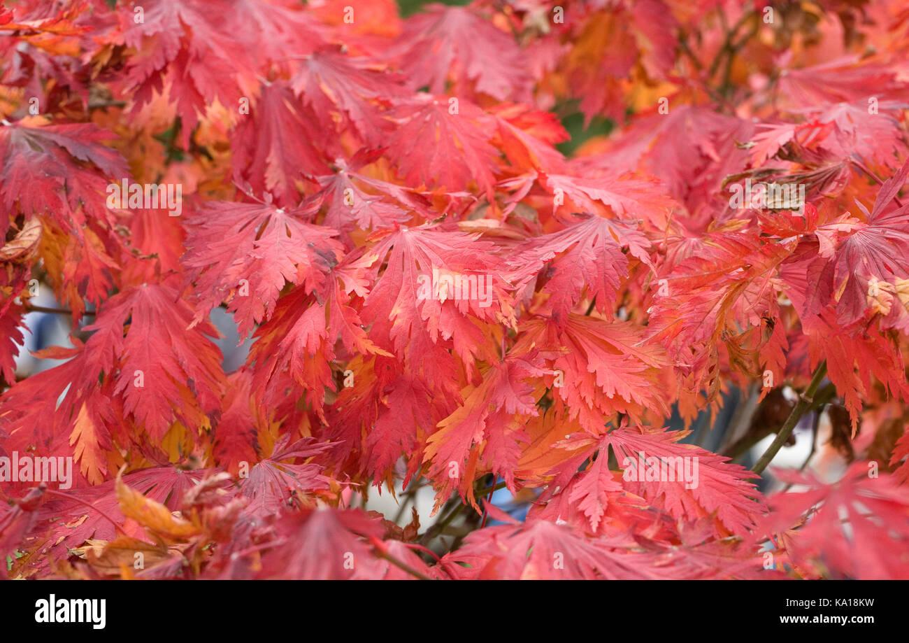 Acer palmatum 'Atropurpureum' leaves in Autumn. Stock Photo