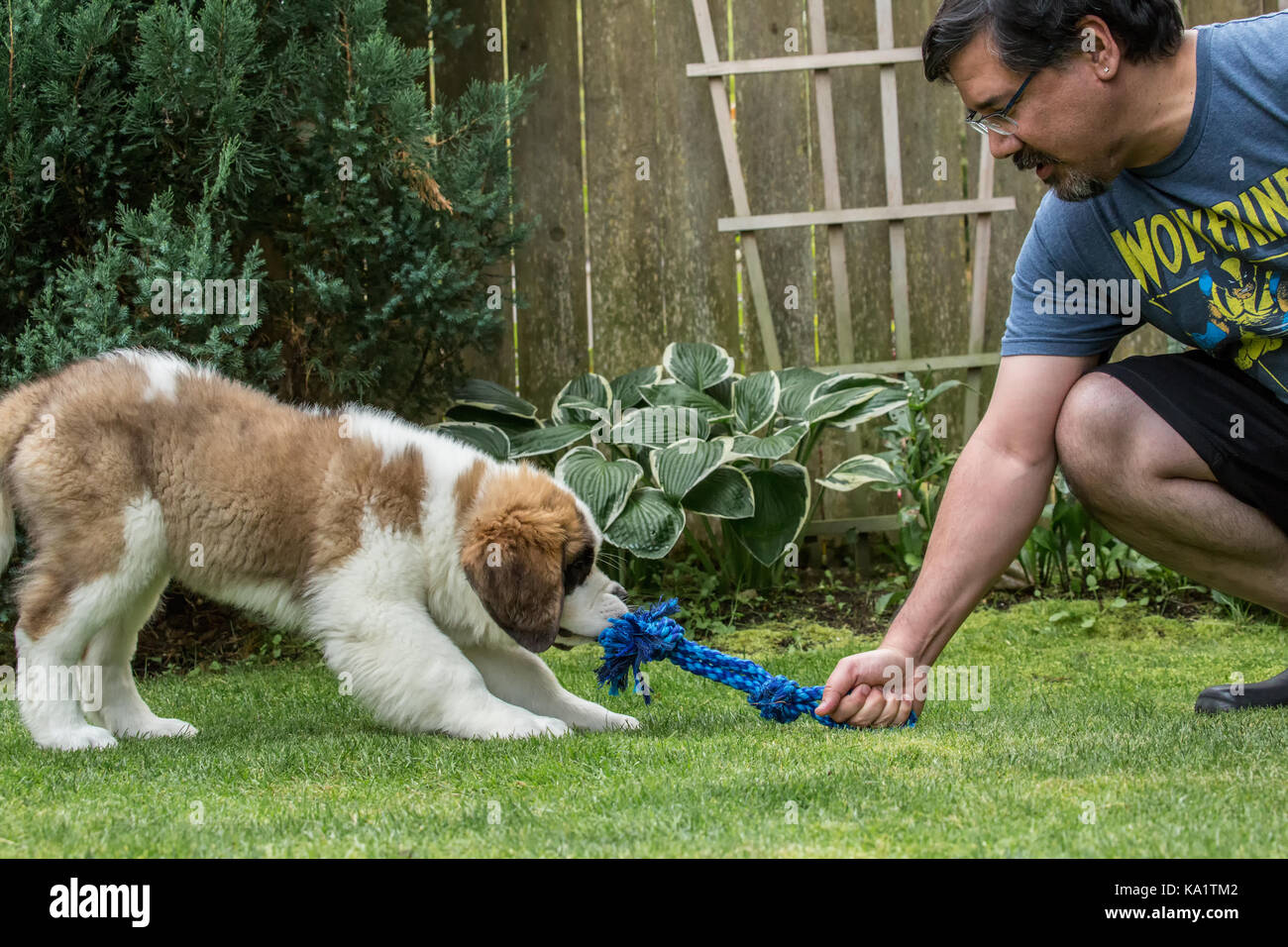 Three month old Saint Bernard puppy 'Mauna Kea' playing tug with a rope toy with his owner in their yard - Stock Image