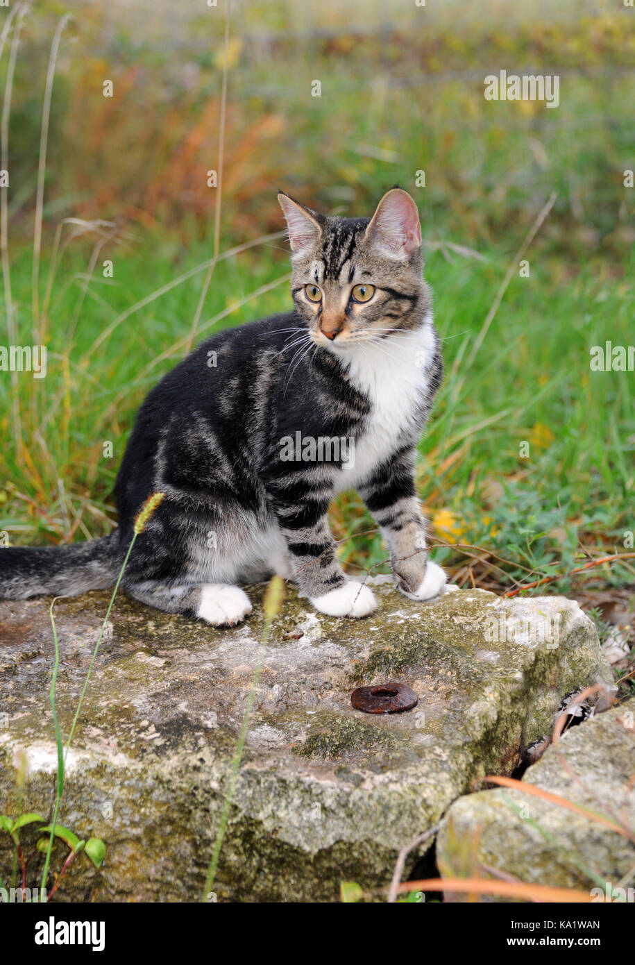 Tan And White Cat High Resolution Stock Photography And Images Alamy