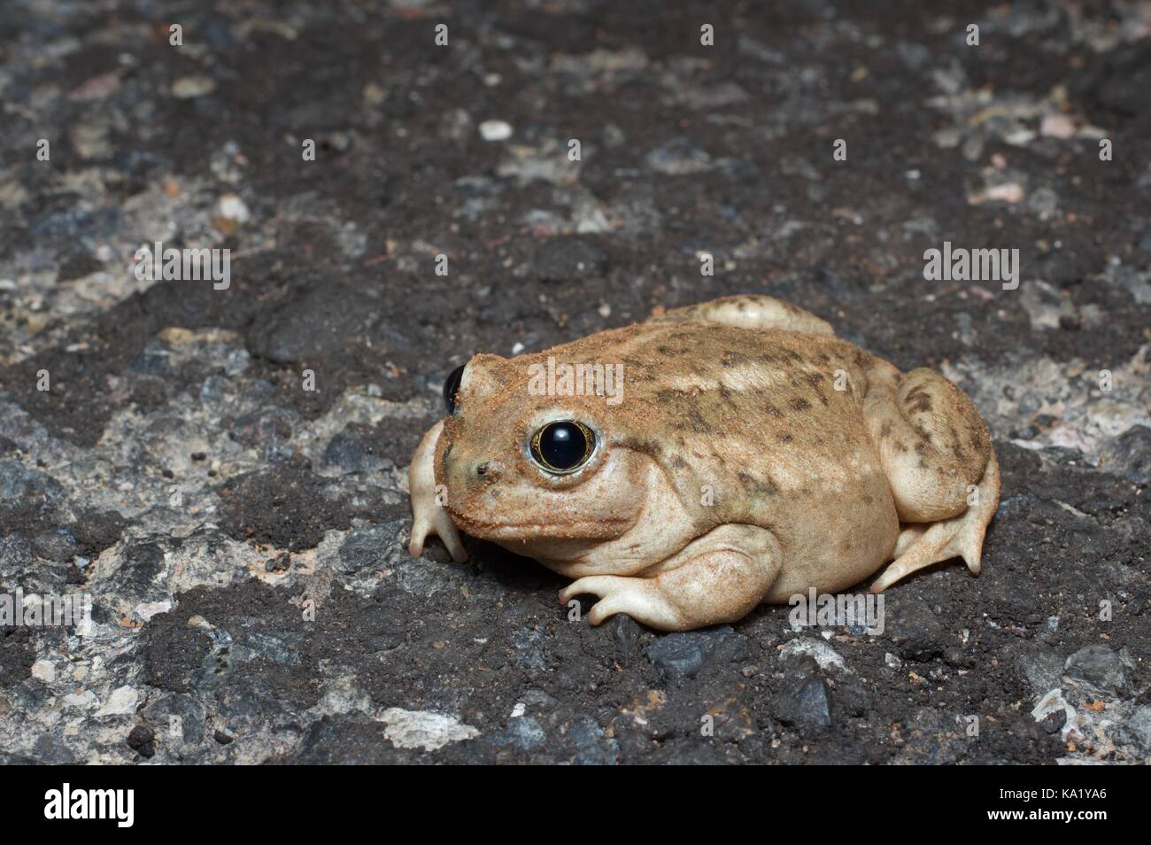 A Great Basin Toad (Spea intermontana) on the road at night in Grand Staircase - Escalante National Monument in Stock Photo