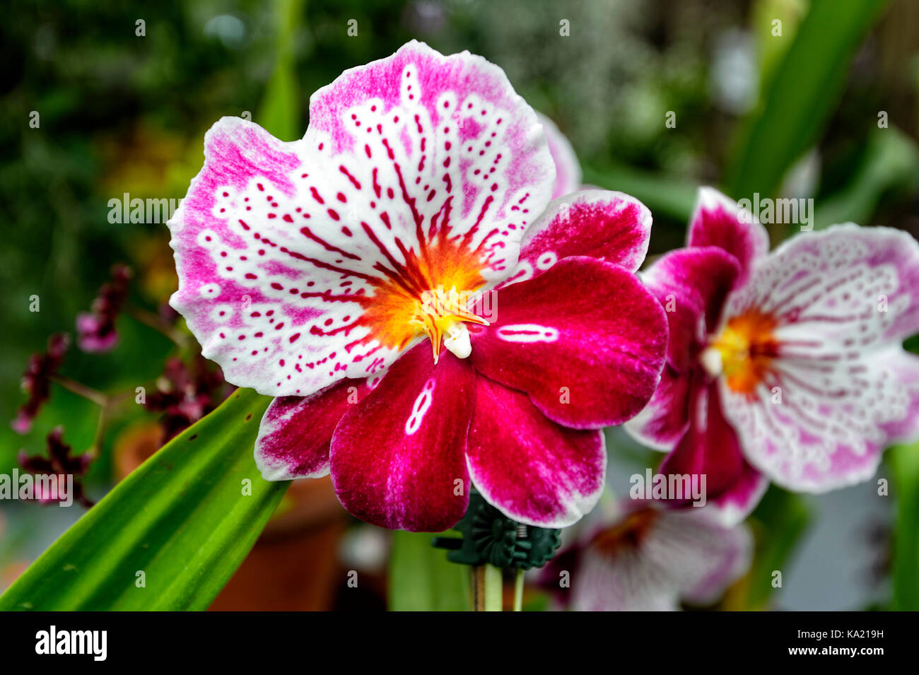Orchid (Miltoniopsis Breathless 'Brilliant') at the Orchid House, Hervey Bay Botanic Gardens, Queensland, - Stock Image