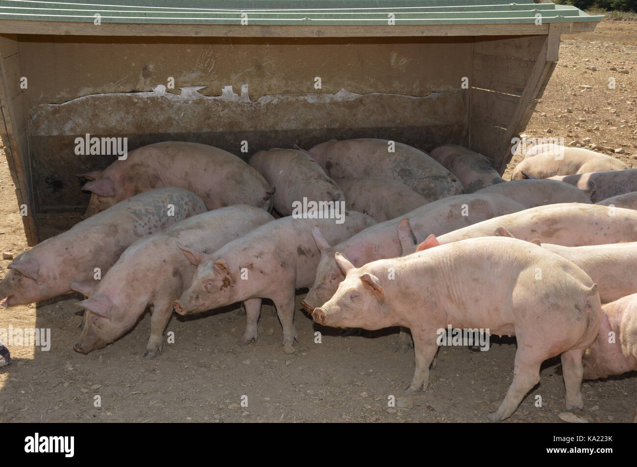 Pigs in their surroundings - Stock Image