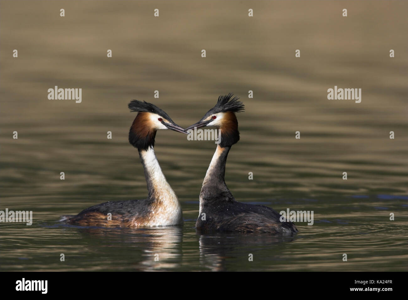 Courtship display, Balz - Stock Image