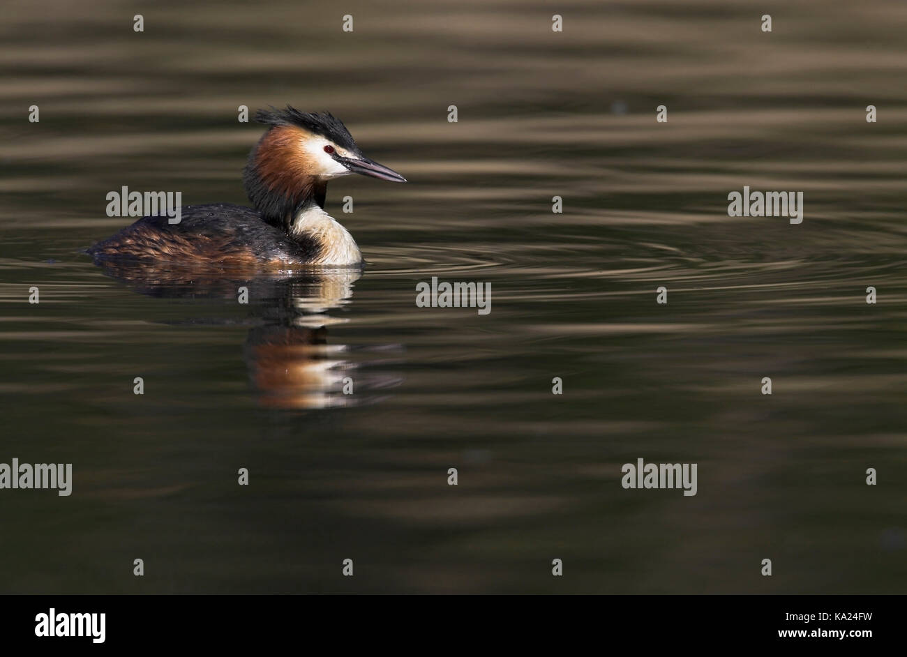 Bonnet diver, Great Crested Grebe, Podiceps cristatus, Haubentaucher / Great Crested Grebe / Podiceps cristatus - Stock Image
