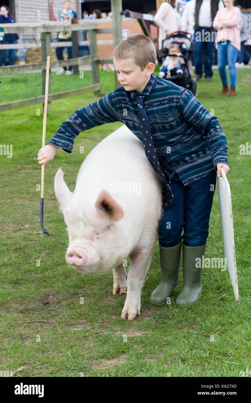 Sus scrofa domesticus, English Large White being handled by a young boy - Stock Image