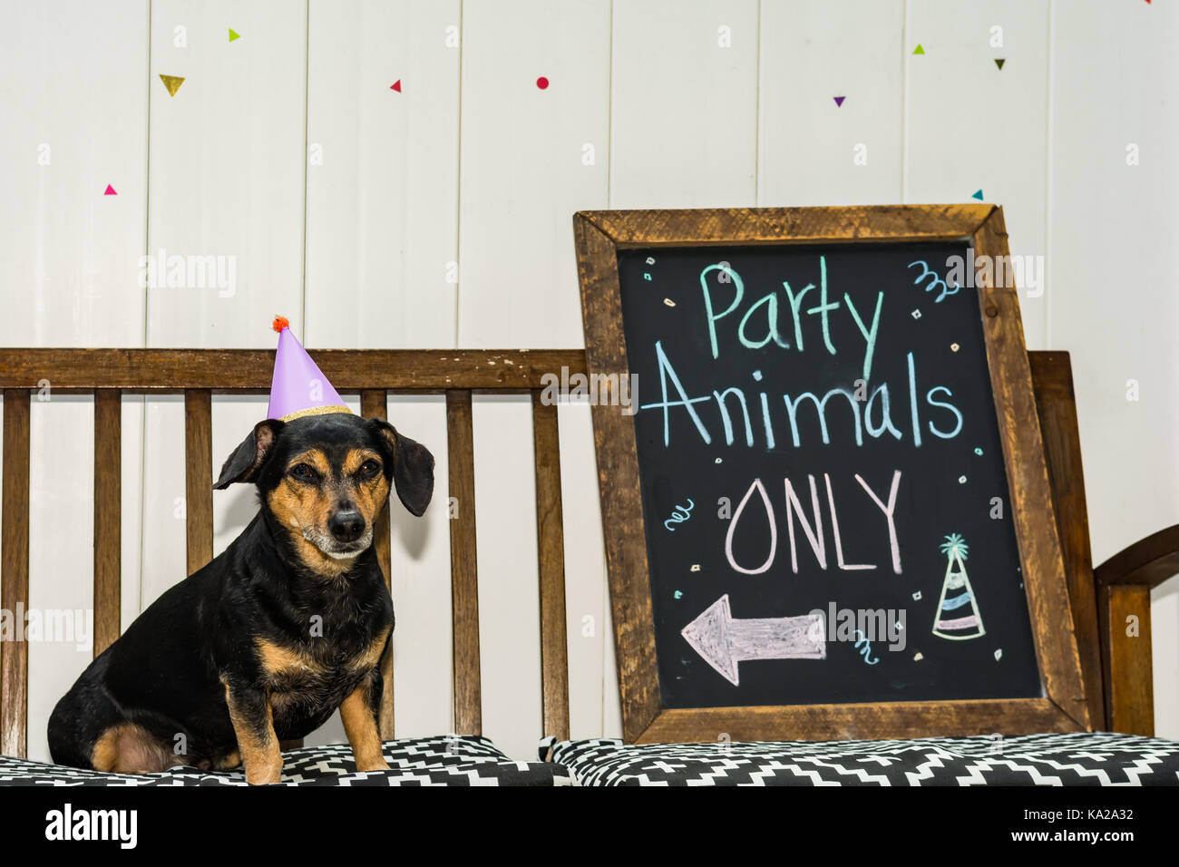 A cute Dachshund at a Party Animal theme party. - Stock Image