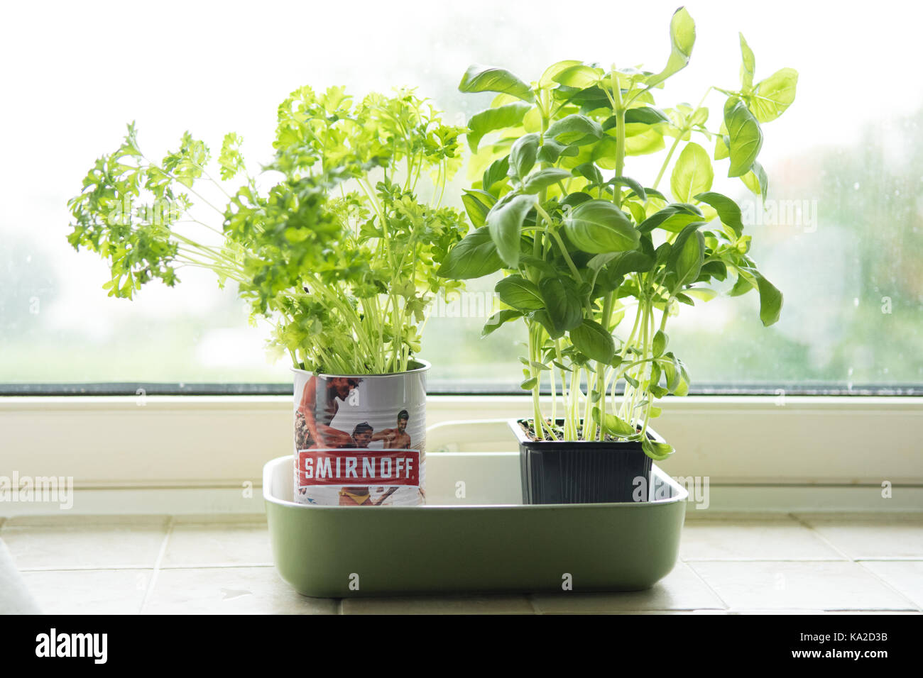 parsley and basil growing in pots on kitchen windowsill - Stock Image