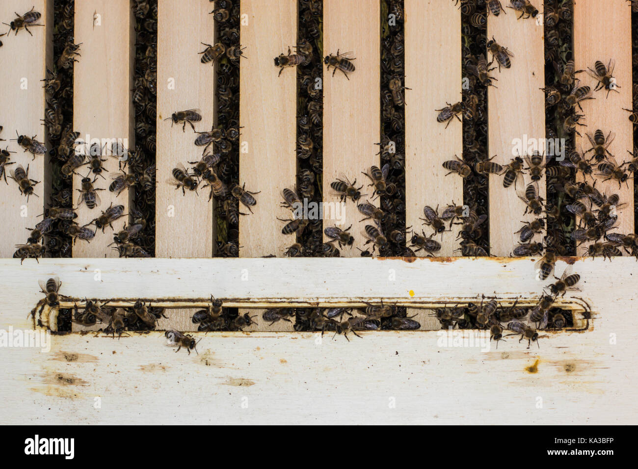 Bees On The Frames Stock Photos Images Wiring Board Bee In Hive With Them Collecting Nectar Image