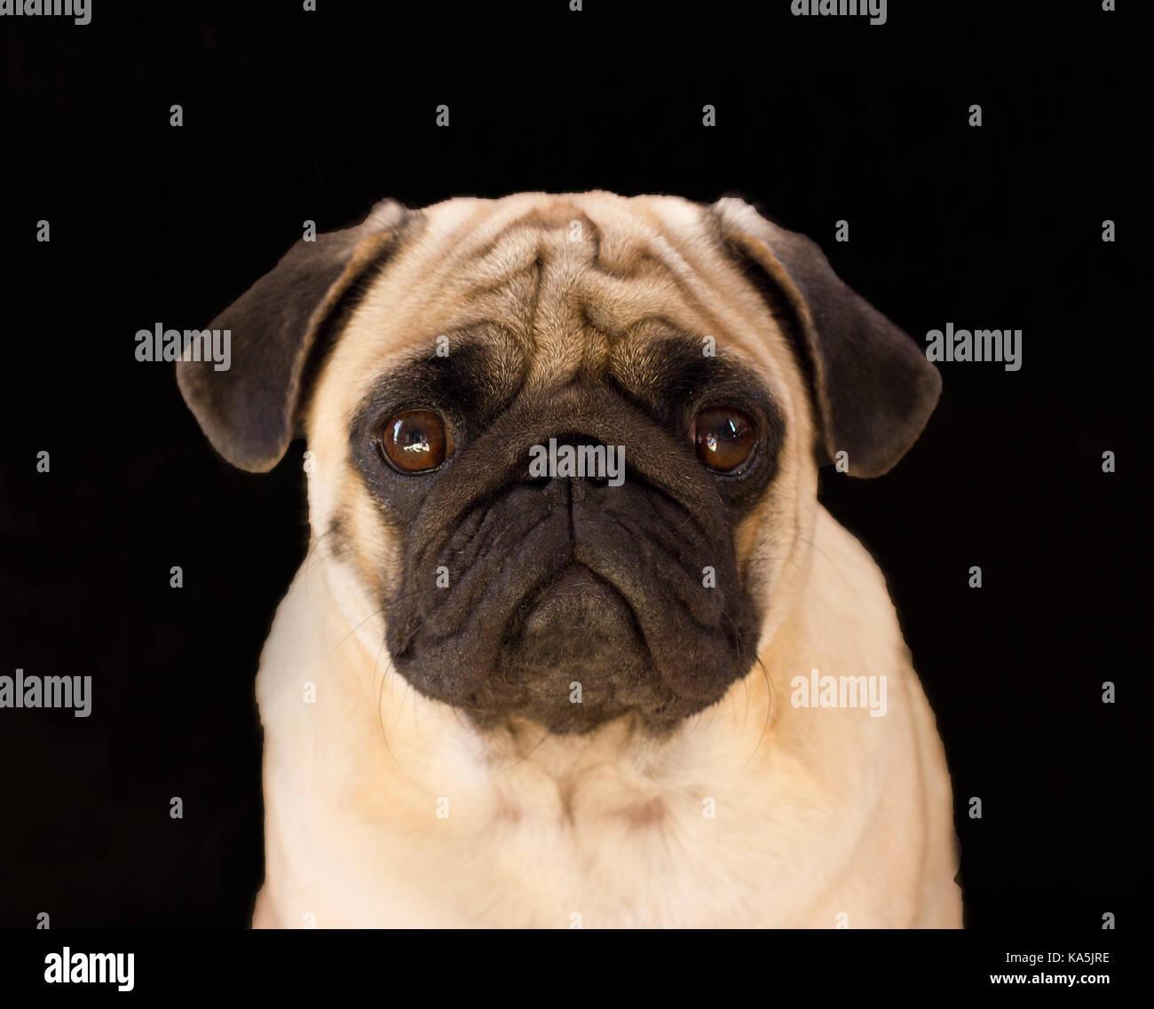 Sad dog pug on the black background - Stock Image
