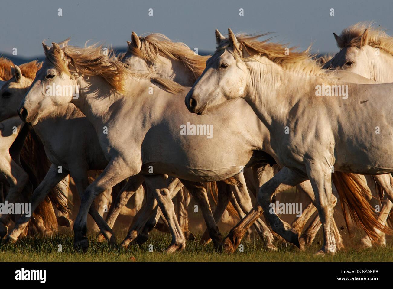 Mongolian white wild horses running on the endless grasslands - Stock Image