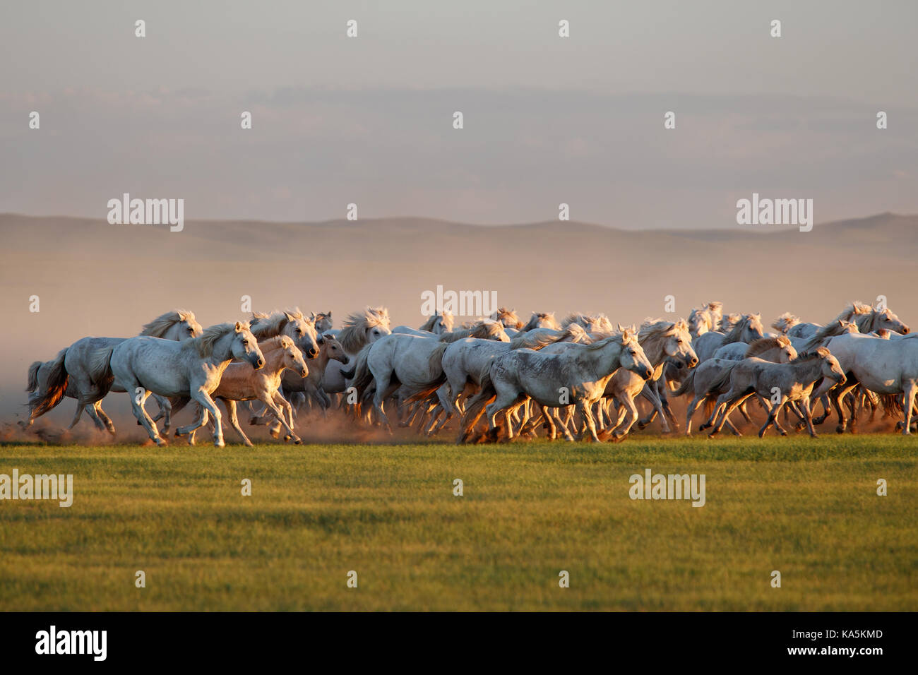 Mongolian white wild horses running on the endless grasslands - Stock Image