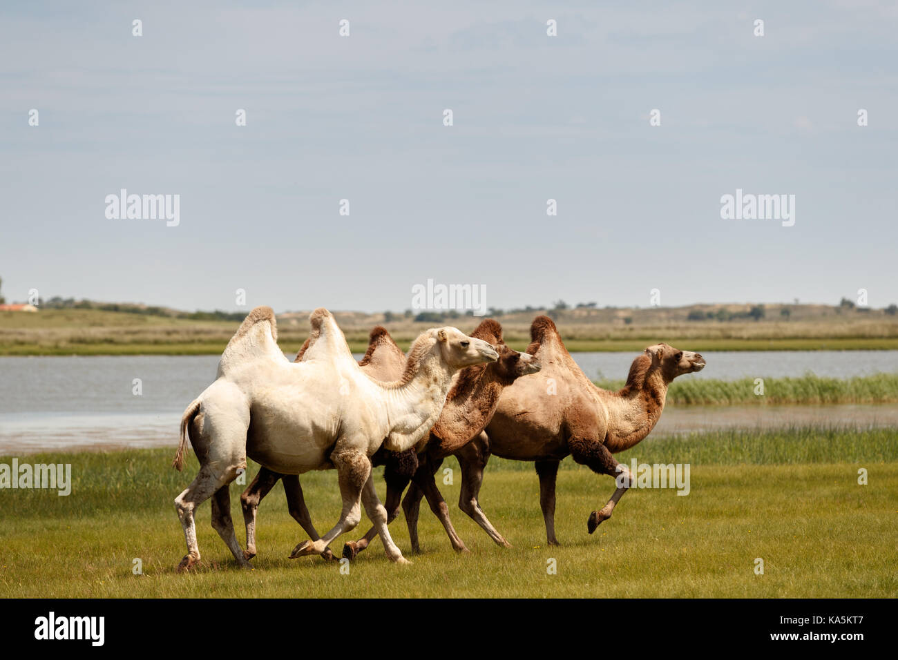 Double hump camels (Bactrian Camels) in grassland of Mongolia are in danger.They considered as endangered species. - Stock Image