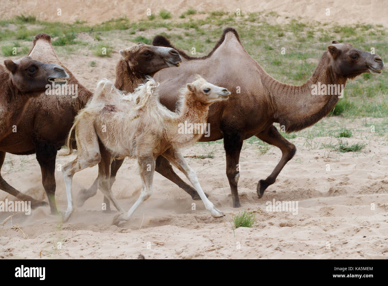 Double hump camels (Bactrian Camels) and the baby camel running - Stock Image