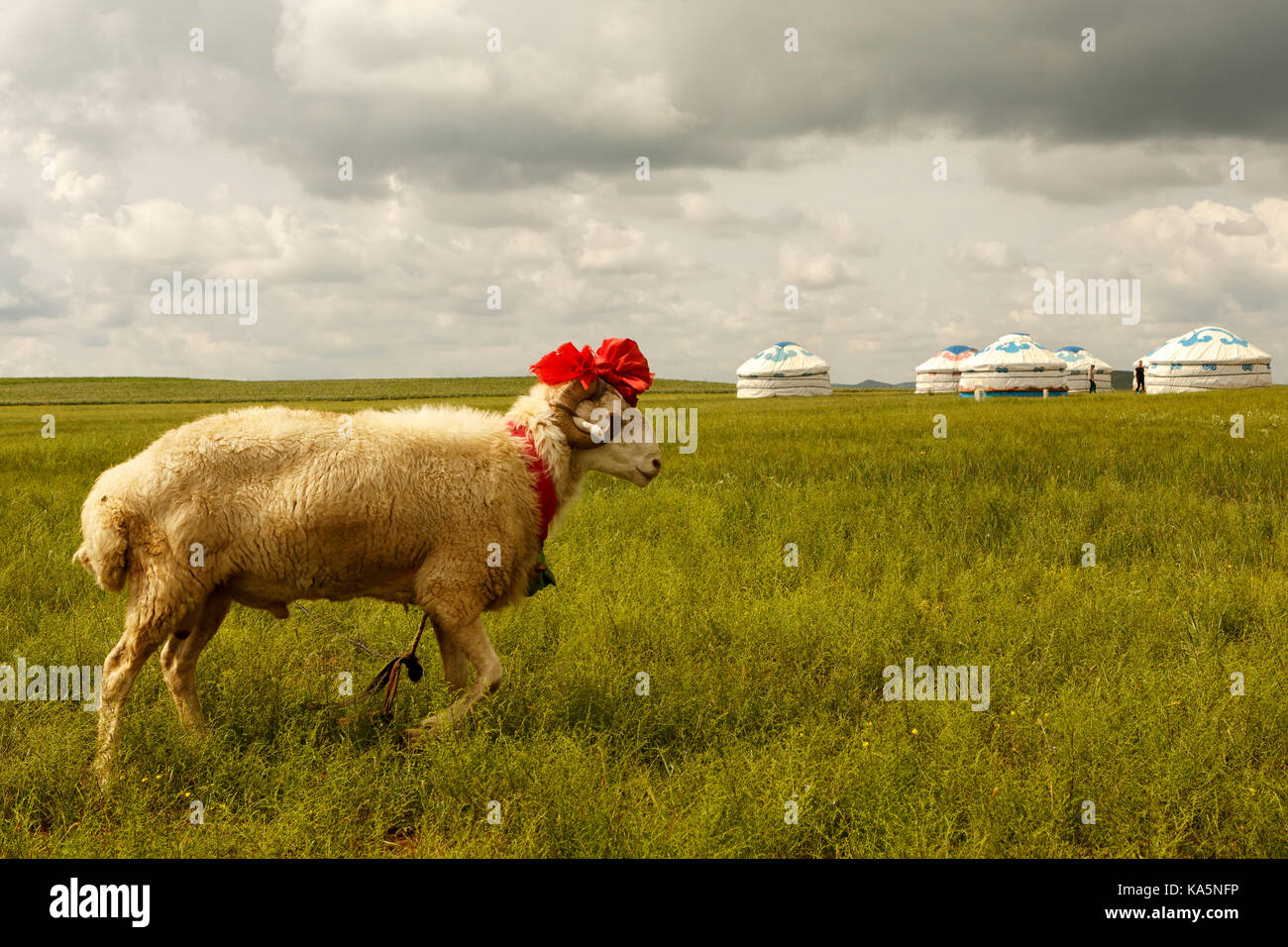 Fancy sheep in Mongolian grasslands - Stock Image