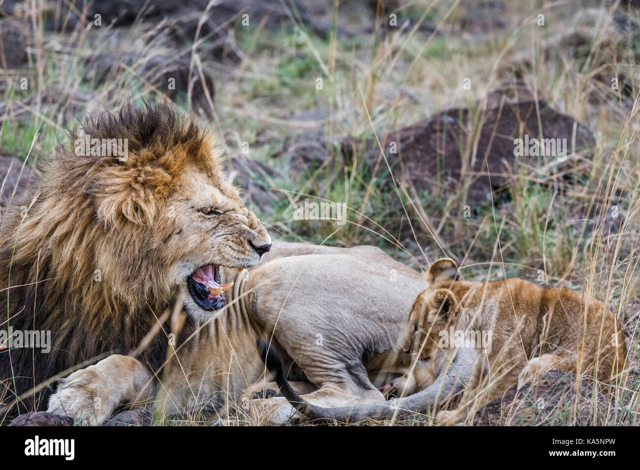Growling lion: Aggressive adult male Masra lion (Panthera leo) bares its teeth as it growls and snarls at a cowering - Stock Image