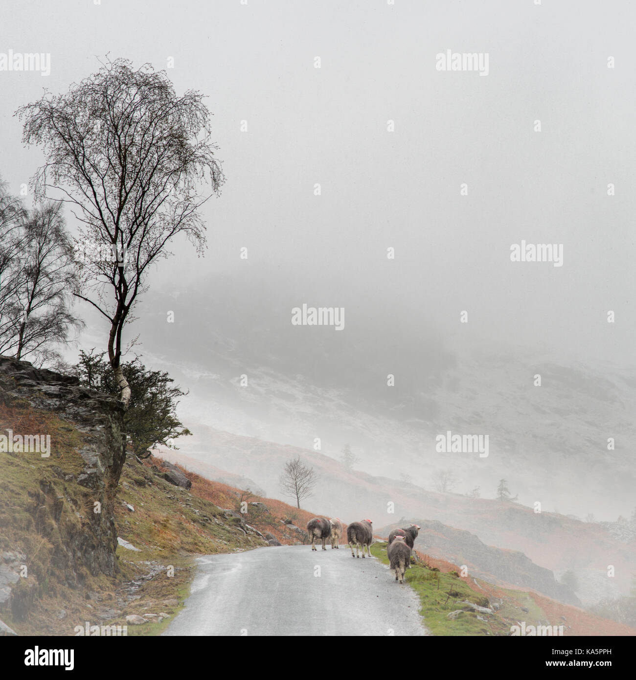 Late April and heavy snow showers are rolling over the Lake District.  I was absolutely frozen, but decided to take - Stock Image