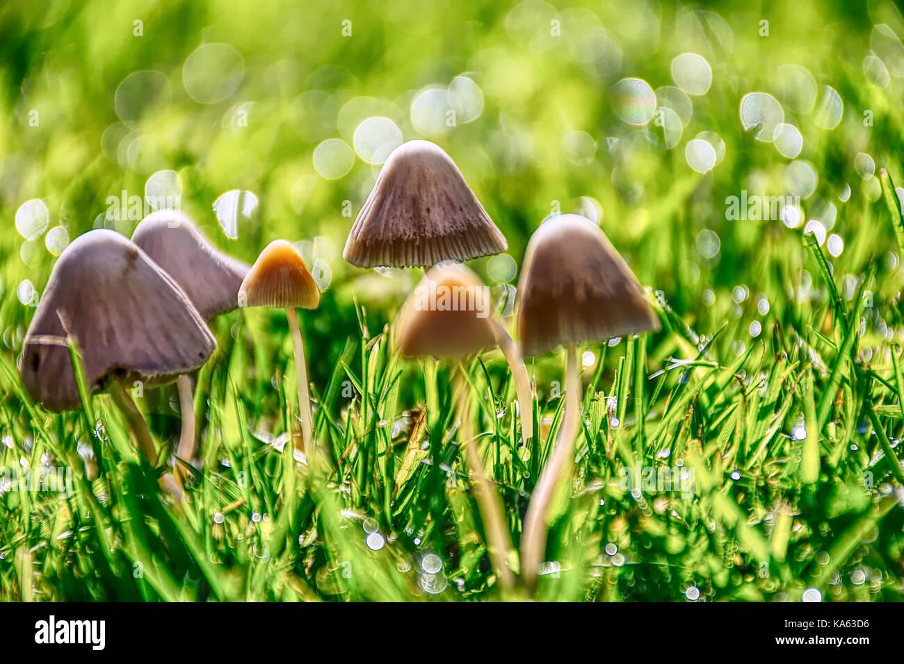Fungi growth on grass field on sunny autumn morning after rain near Stoke on Trent ,United Kingdom. British nature,bokeh,mushrooms - Stock Image