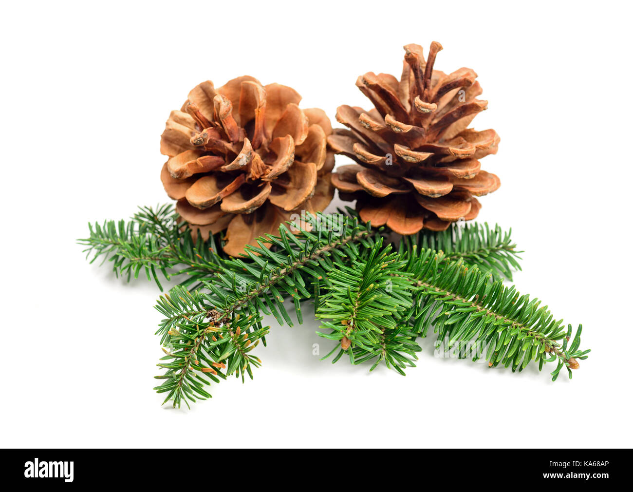 evergreen tree Christmas pine cones with branch on a white background. Decorate element - Stock Image