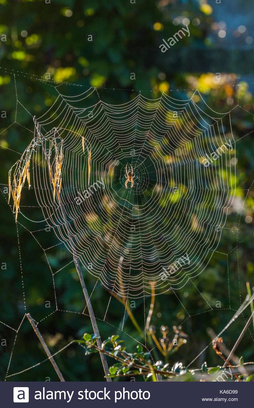 orb web spider's web - Stock Image