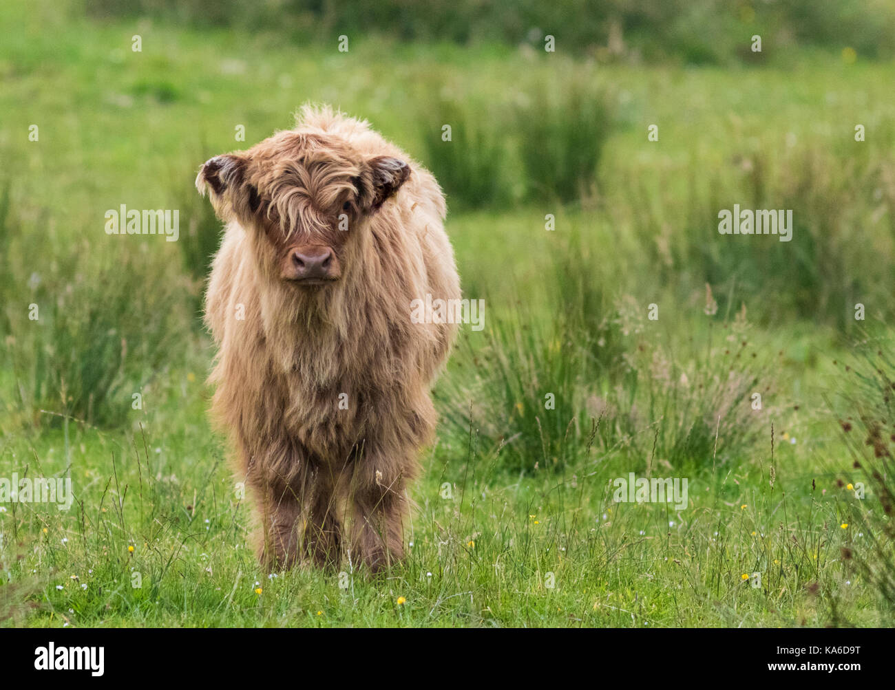 Highland cattle calf standing and looking in to the camera, Islay, Scotland Stock Photo