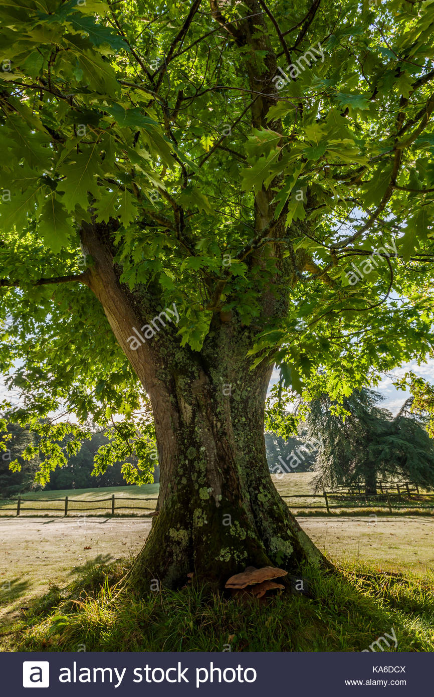 vintage Quercus rubra red oak - Stock Image