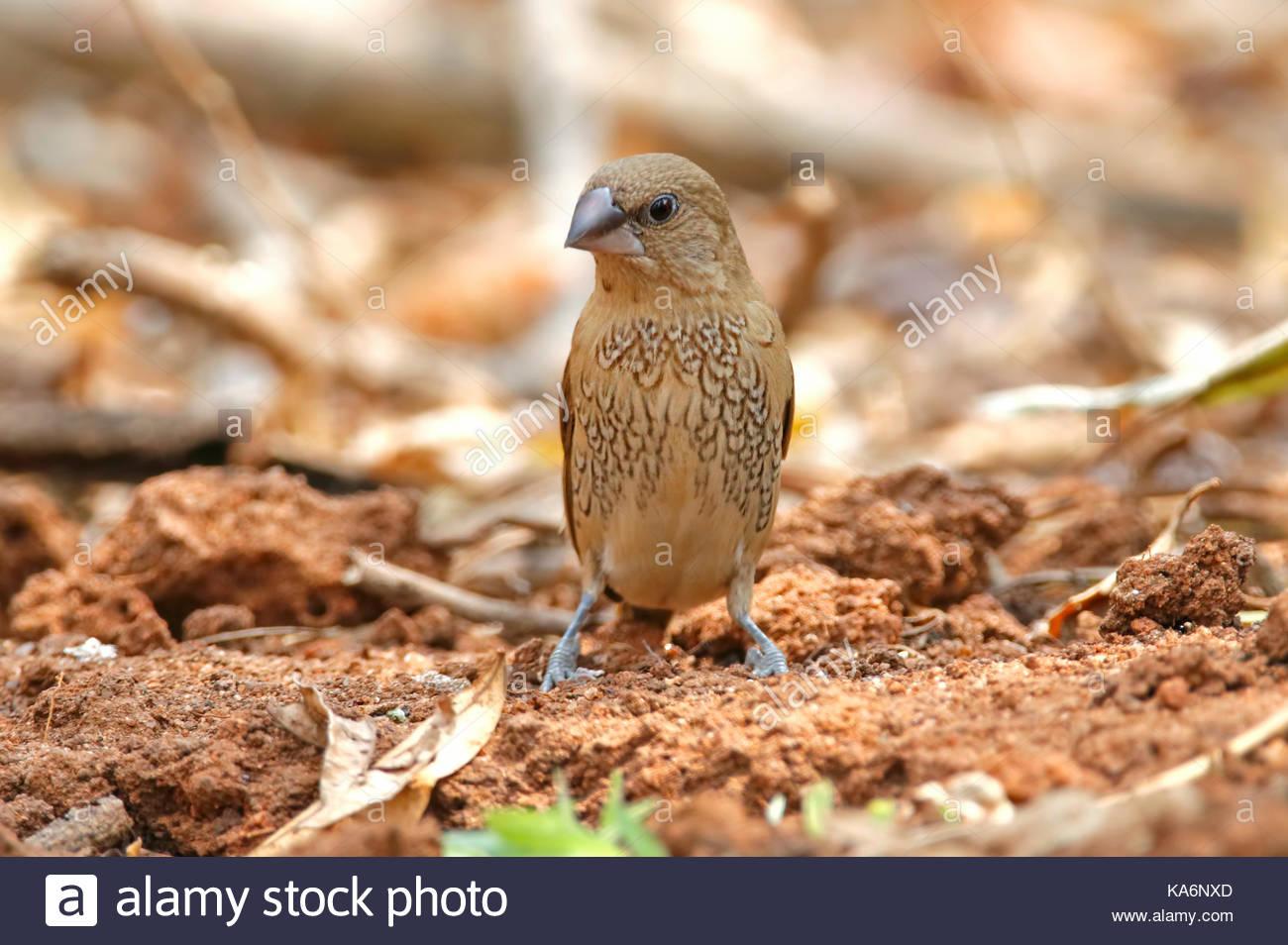 Scaly-breasted Munia Lonchura punctulata Cute Birds of Thailand - Stock Image