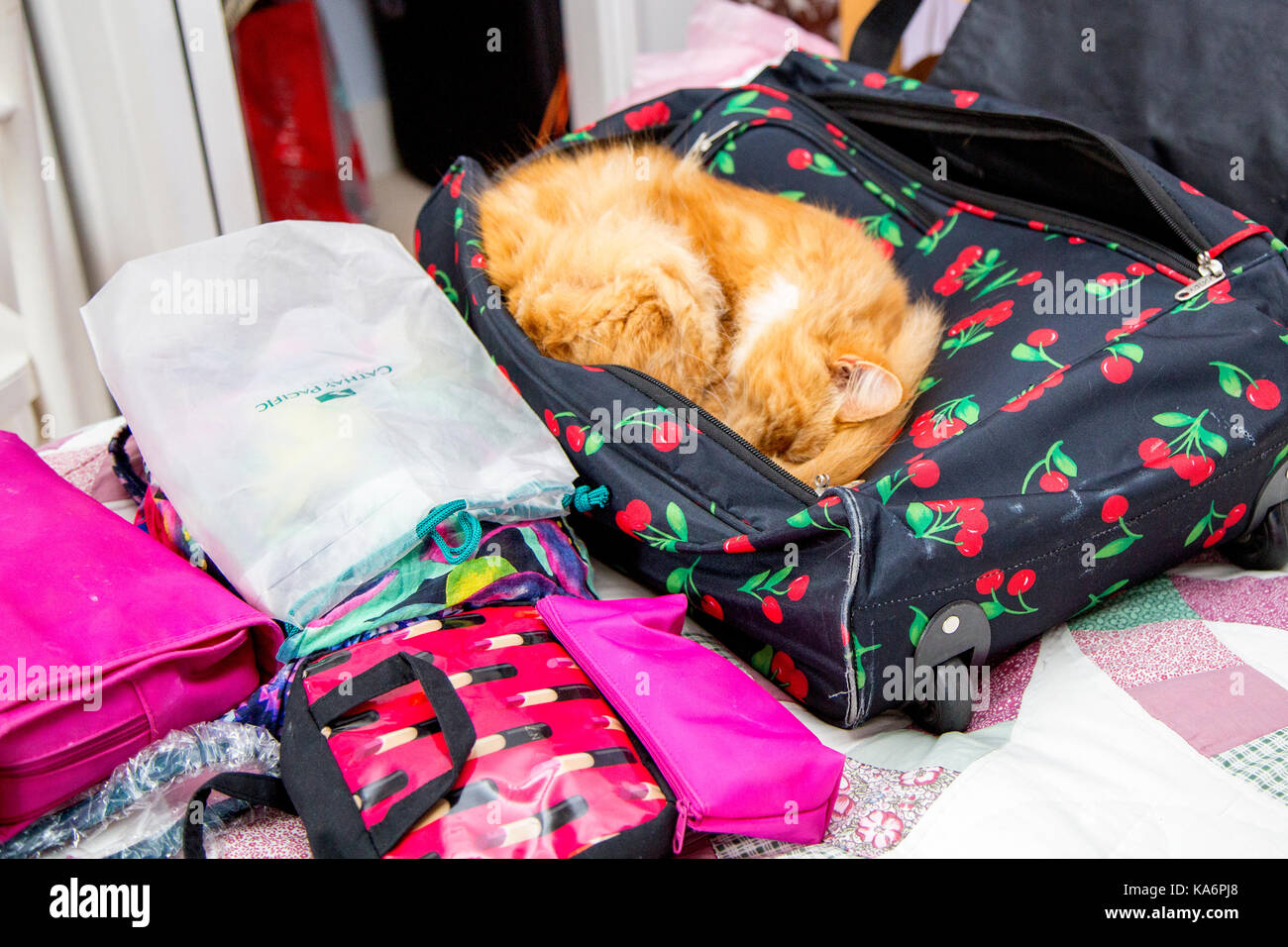 A ginger cat curled up asleep in a suitcase which was just about to be packed. - Stock Image