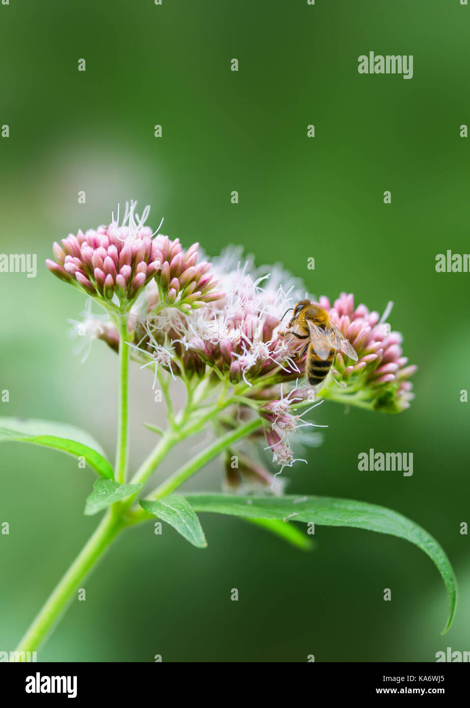 Hemp agrimony plant (Eupatorium cannabinum), also known as Holy rope, in late Summer in West Sussex, England, UK. - Stock Image