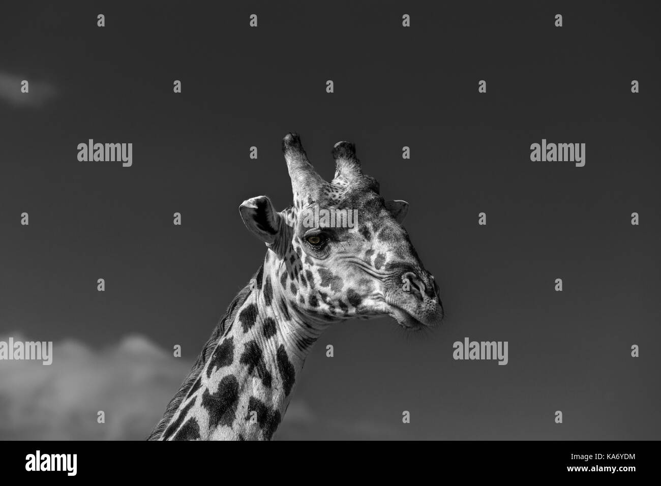 Close-up of head of Masai giraffe (Giraffa camelopardalis tippelskirchi) Masai Mara, Kenya in monochrome against - Stock Image