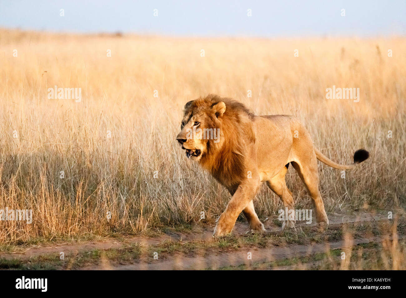 Apex predator: Adult male Mara Lion (Panthera leo) prowls along a track through long grass in early morning light, Stock Photo