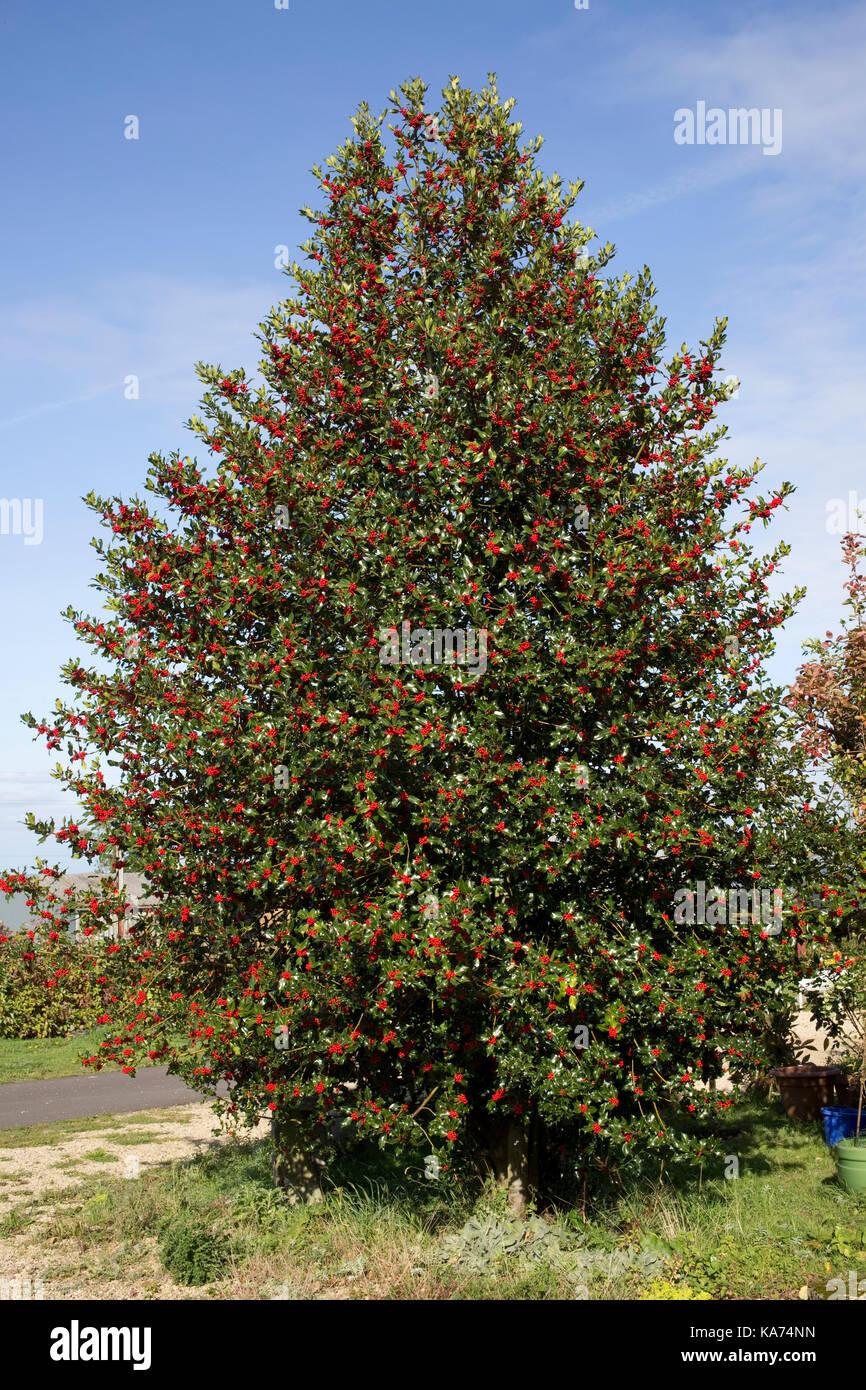 Christmas Holly Tree.Holly Tree Stock Photos Holly Tree Stock Images Alamy