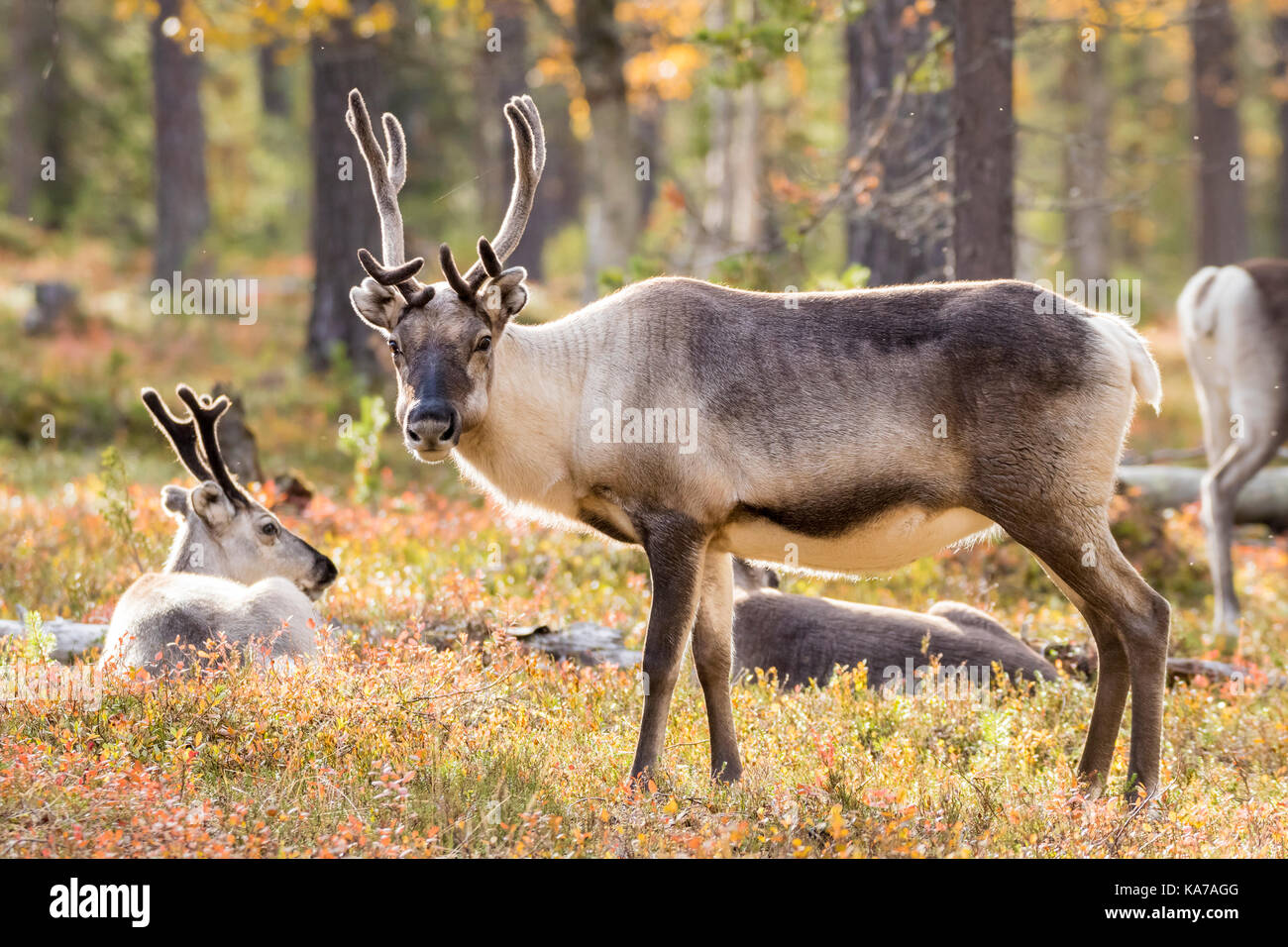 Reindeer in a pine forest - Stock Image