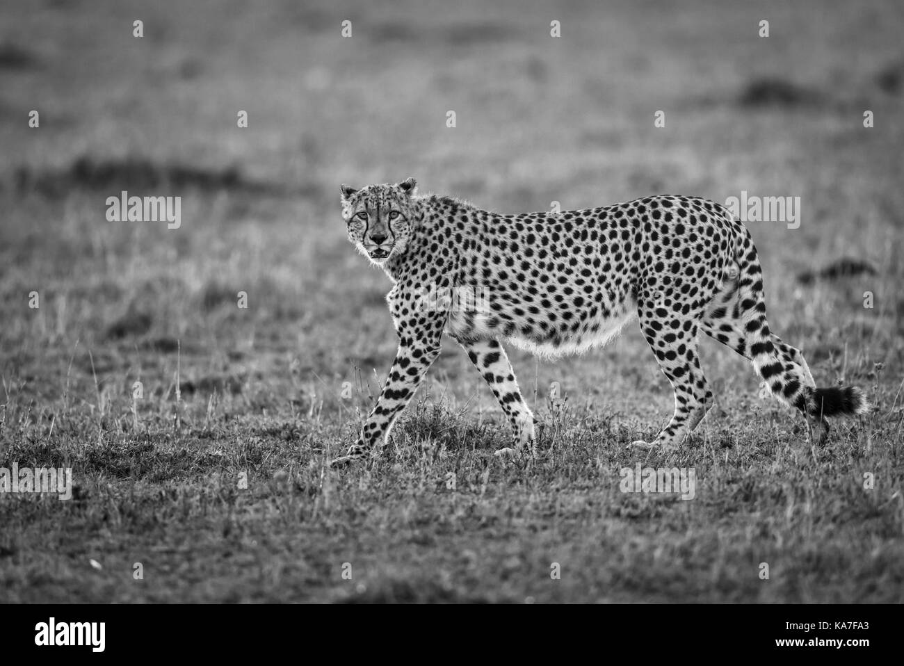 Backlit adult cheetah (Acinonyx jubatus) serenely walking in early morning light across the savannah of Masai Mara, - Stock Image
