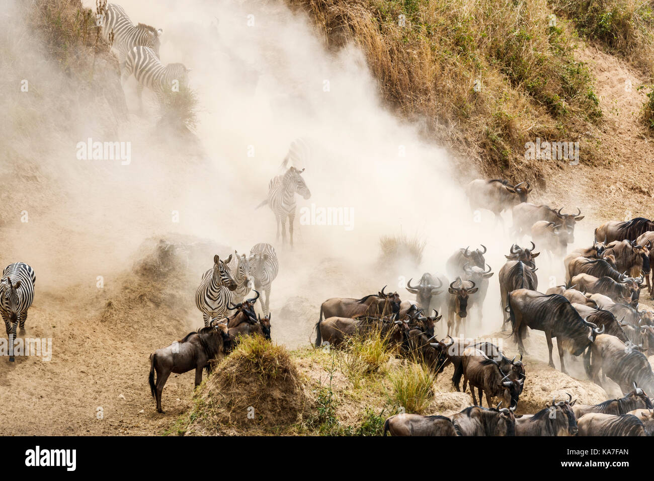 Herds of blue wildebeest (Connochaetes taurinus) and plains zebra (Equus burchellii) gather by the River Mara for Stock Photo