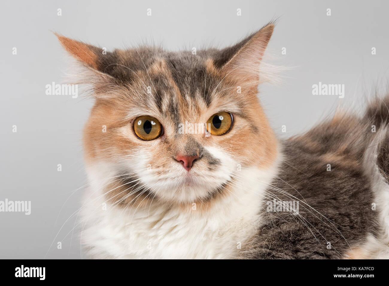 Pedigree cat Manx-Cymric (Felis silvestris catus), age 1 year, color blue with white - Stock Image