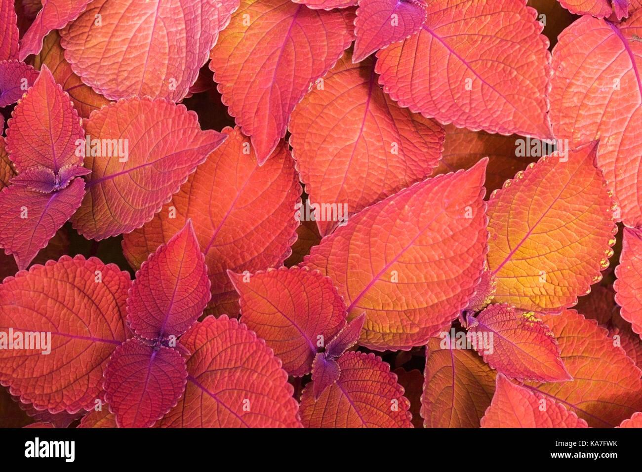 Coleus nettle (Solenostemon scutellarioides), Campfire leaves in summer, Montreal, Quebec, Canada Stock Photo