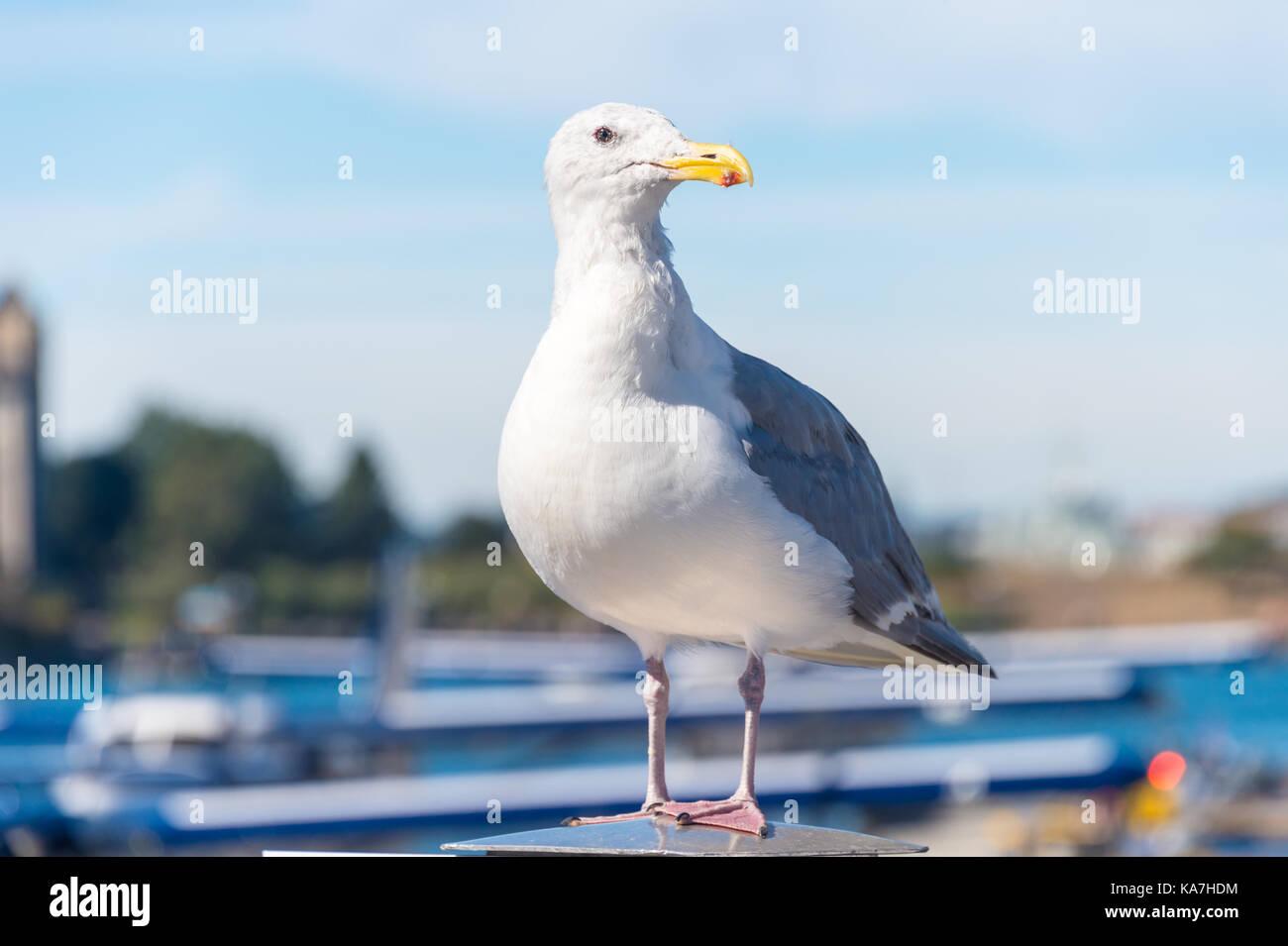 Glaucous-winged Gull in Victoria Harbour, British Columbia, Canada - Stock Image