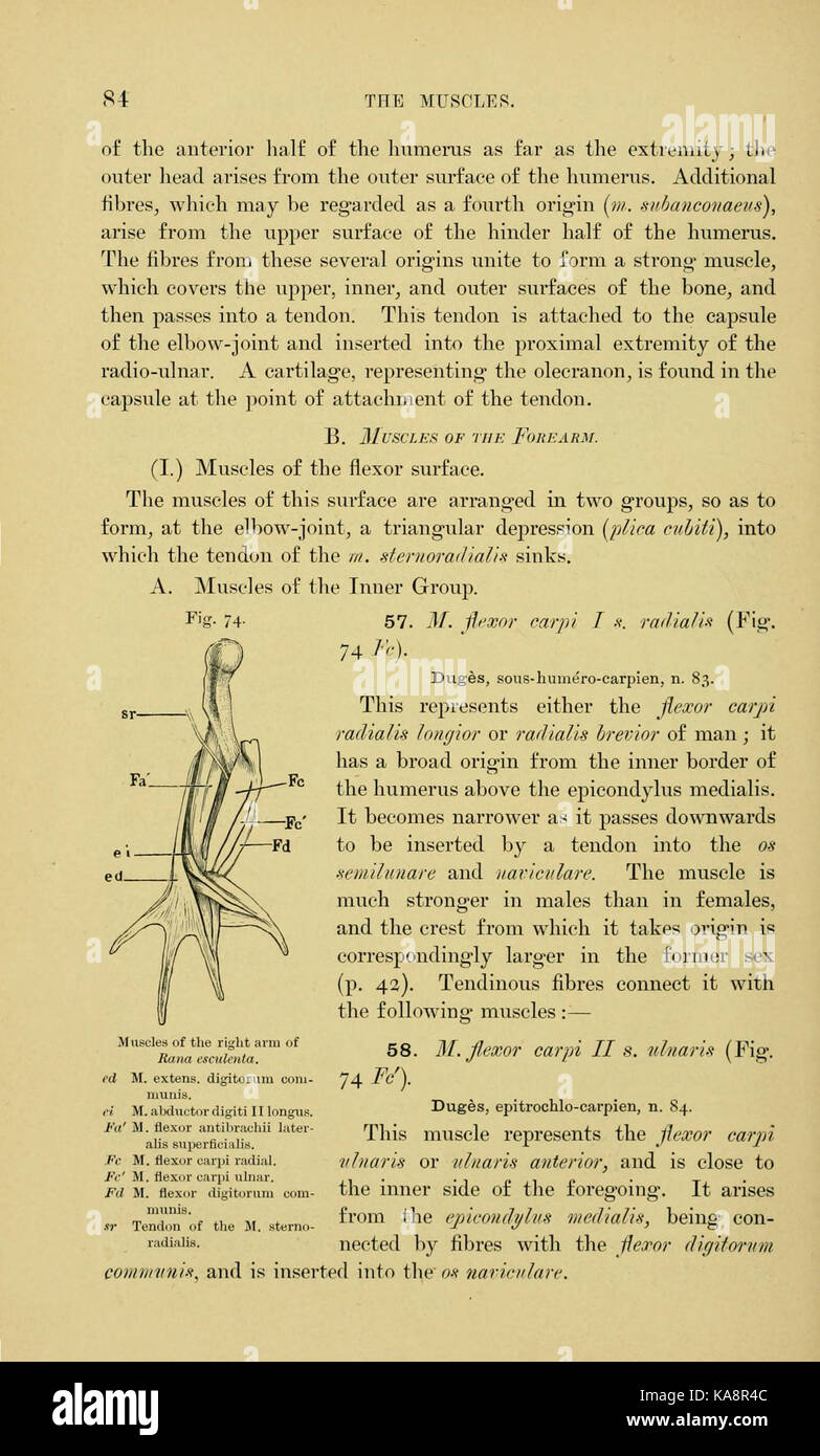 The anatomy of the frog (Page 84, Fig. 74) BHL7554855 Stock Photo ...