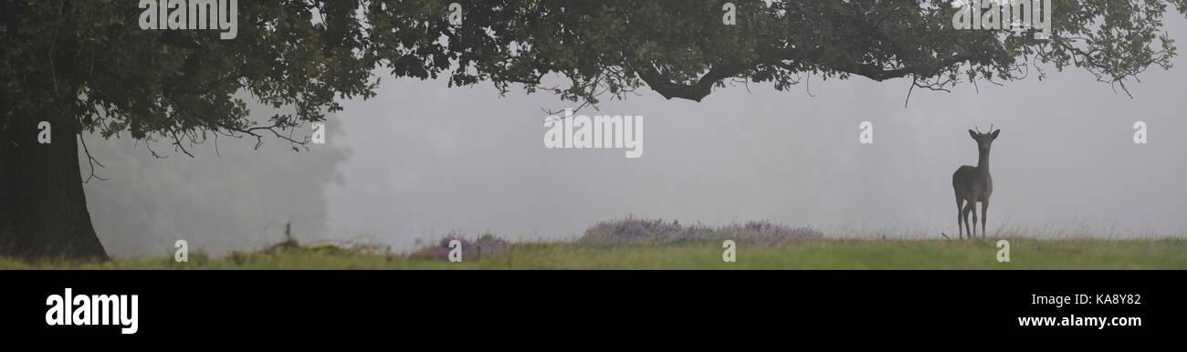 wide panorama of a fallow deer under an big oak tree Stock Photo