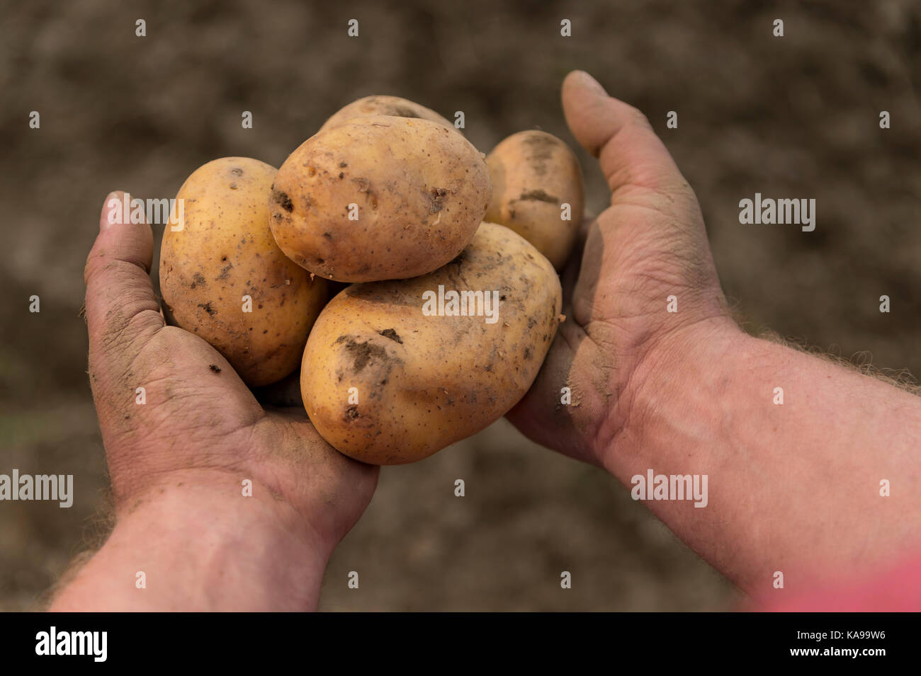 Man's hands hold potatoes freshly from the field harvested - Stock Image