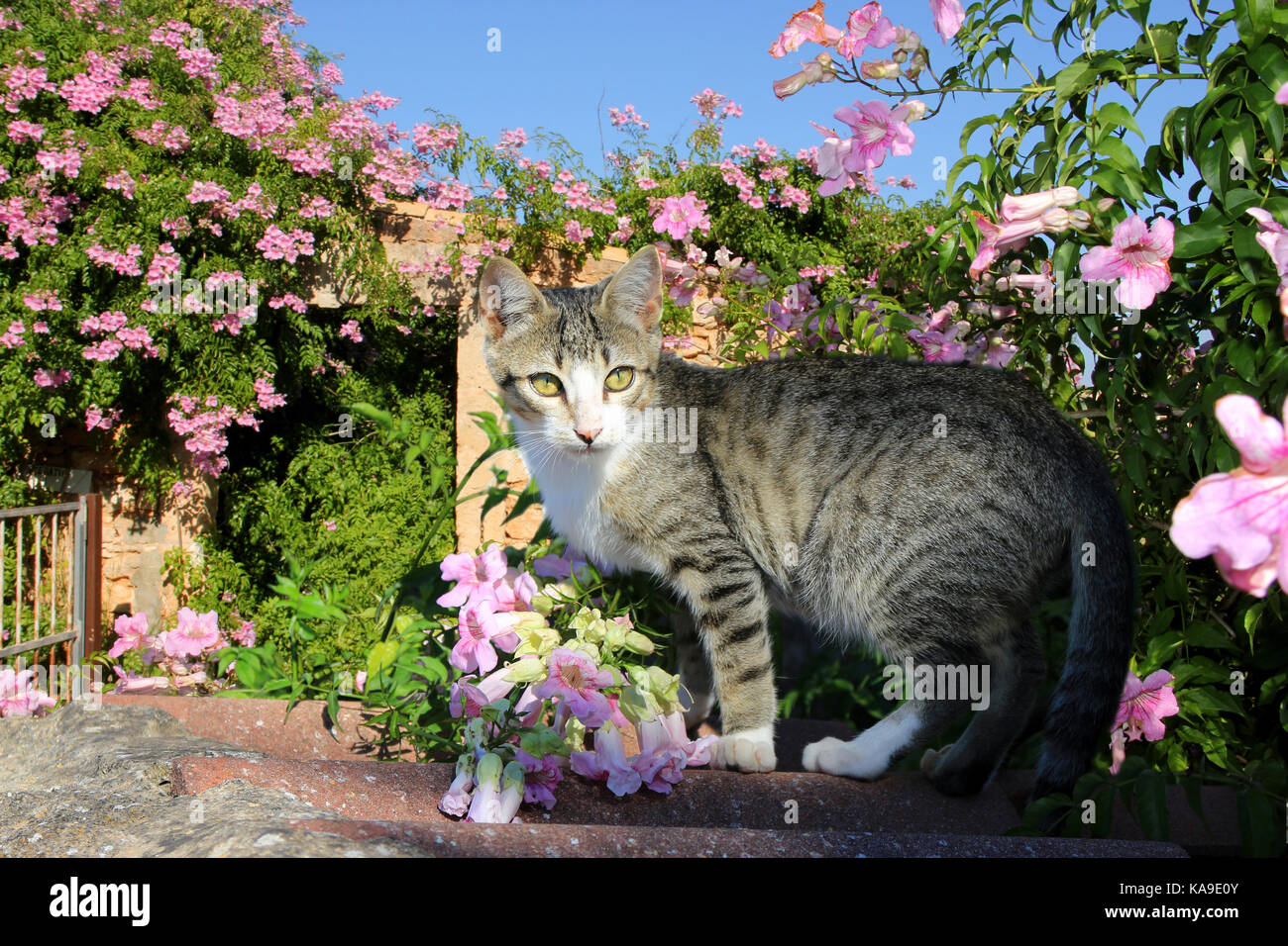 domestic cat, black tabby white, standing oon a wall between pink flowers Stock Photo